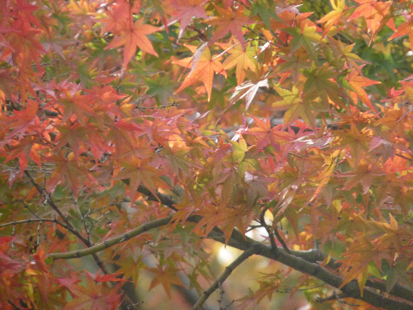 緑が美しい京都御所の紅葉