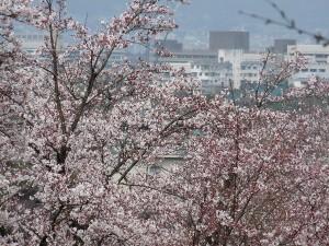 京都市内と桜